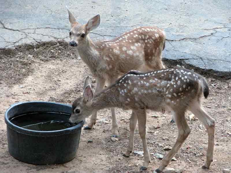 Deer Drinking