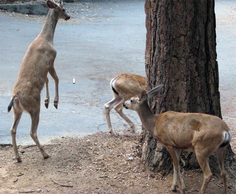Standing Buck