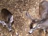 deer-059