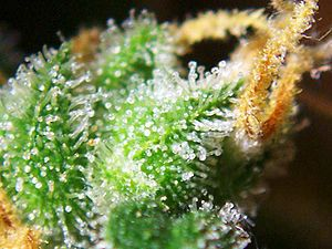 Cannabis female flowers closeup with trichomes...