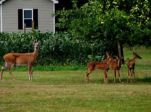 English: A female deer (doe) and three babies ...