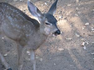 Tumors Deer 044