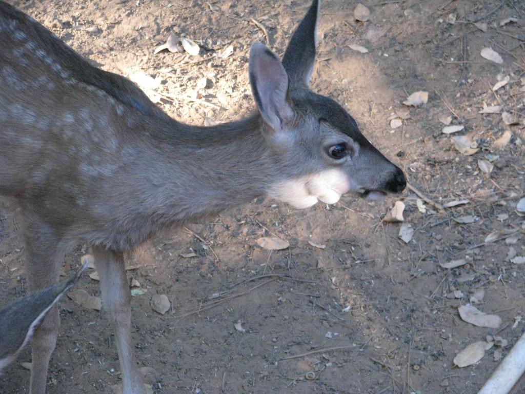 Tumors Deer 045