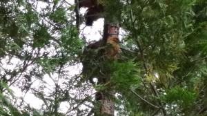 Chickens nesting in tree